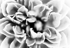 I Once Knew a Girl Named Kimberly (Thomas Hawk) Tags: california blackandwhite bw usa flower america blackwhite unitedstates unitedstatesofamerica fair fourthofjuly eastbay pleasanton alamedacountyfair natureshand