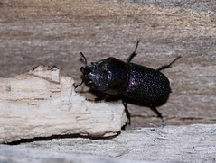 Rugose Stag Beetle (Sinodendron rugosum), adult male, dorsal view (Arboreal Boids) Tags: oregon insect stag beetle rhino rhinocerous invertebrate arthropod coleoptera polkcounty lucanidae hexapoda rugosum rugose scarabaeoidea sinodendron rugosestagbeetle sinodendronrugosum