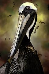 Pelican (dbullens) Tags: texture birds canon florida pelican soe floridakeys tavernier tavernierfl abigfave platinumphoto platinumheartaward thechallengefactory superstarthebest
