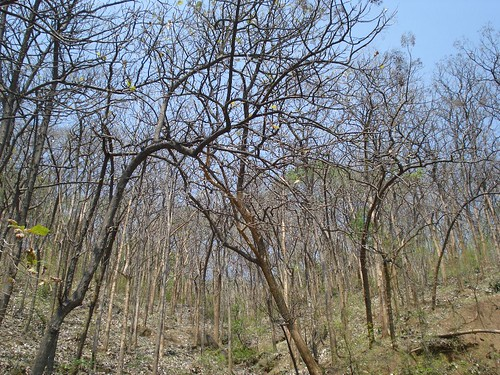 Teak Trees - Seen from National Highway 208 (NH 208) Road