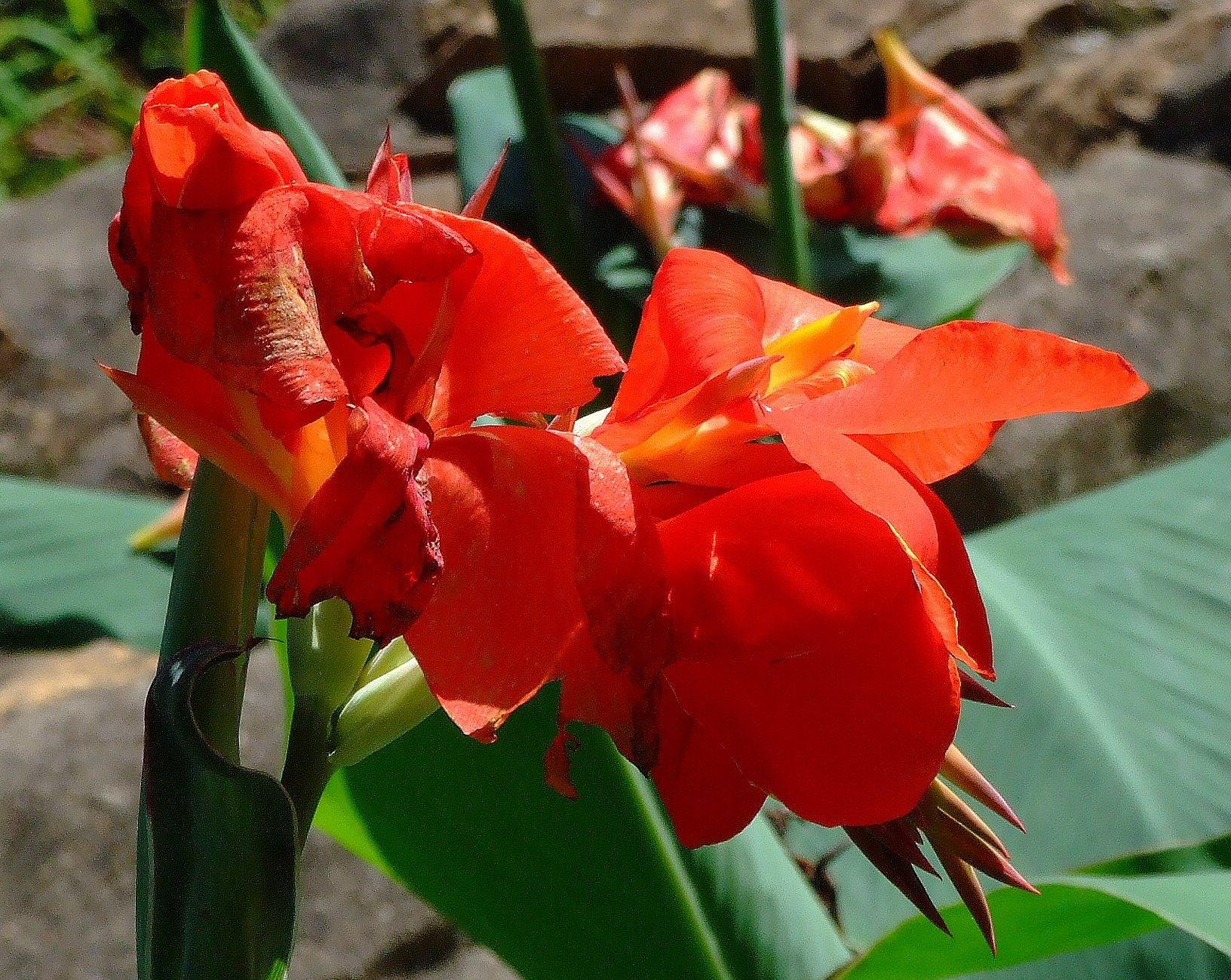Цветок канны фото уход в домашних условиях