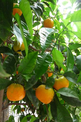 15_mai_2009_les_oranges_P1040427