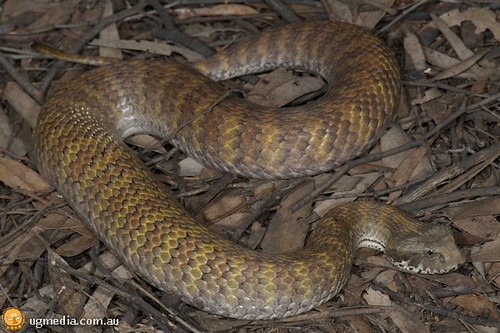 Northern death adder (Acanthophis praelongus)