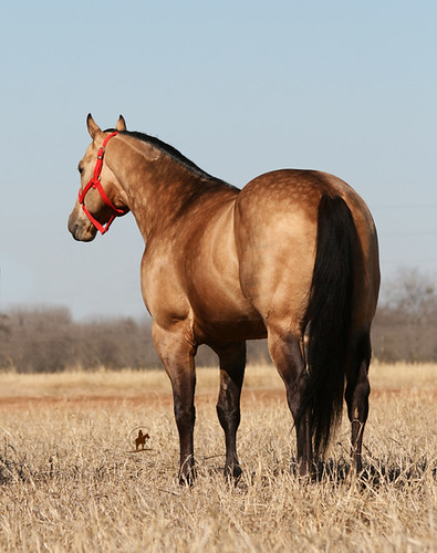 Namgis Stallion - Bucks Hancock Dude