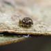 Kaki springtail, and friend...
