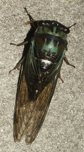Coastal Lyric Cicada, top view