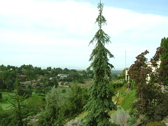 Weeping White Spruce (boisebluebird) Tags: flowers summer plants tree garden landscape design boise patio evergreen spruce whitespruce garening michaeltoolson weepingwhitespruce isellinursery boisebluebirdcom httpwwwboisebluebirdcom boiselandscaping boisegardener