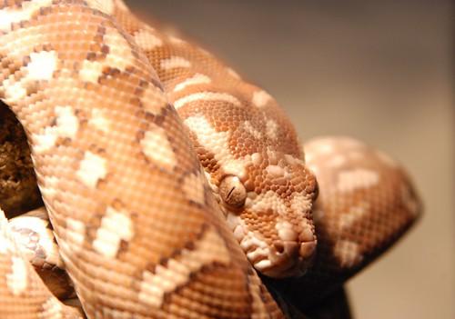 Apophis (Centralian Carpet Python, Morelia bredli)