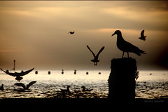 SEA@GULLS...... (Nicolas Valentin) Tags: uk sea seagulls birds marine bravo 10 cromer romantique