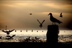 SEA@GULLS...... (Nicolas Valentin) Tags: uk sea seagulls birds marine bravo 10 cromer romantique