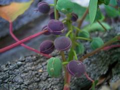 Homalanthus populifolius 5 (Barry M Ralley) Tags: zamia place reserve forster australianrainforestplants australian rainforest plants species new south wales australia ausrfps euphorbiaceae
