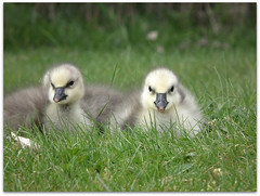 New snow geese goslings! (macfudge1UK) Tags: uk england lake bird nature europe searchthebest waterbird goose lakeside gosling sos oxfordshire oxon lessersnowgoose ansercaerulescens stantonharcourt allrightsreserved bbcspringwatch mywinners countryfile abwaterbirds naturethroughthelens thenaturesgreenpeace lttf fujihs10 rspblovenature lessersnowgoosegoslings