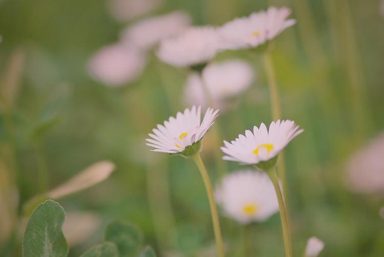 Kópia – kvet (8)