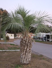 Short Thick Palm Tree