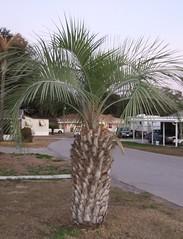 Short Thick Palm Tree