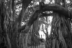 Banyan Tree (Belindas Velvet Memories) Tags: tree flora banyantree brisbanecitybotanicgardens