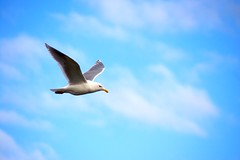 Seagull in Flight (Debbie G) Tags: bird seagull gull flight polarizer thirds pfogold pfosilver
