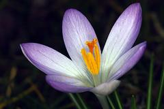 Krokus (manfred.d) Tags: flower bulb spring crocus krokus crocustommasinianus