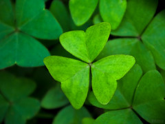 Do You Feel Lucky? (jciv) Tags: desktop wallpaper shamrocks oxalis shamrock stpatricksday notclover file:name=imgp0186