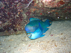 Parrotfish asleep on a night dive