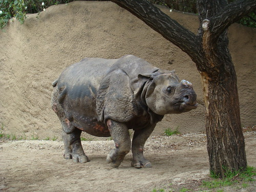 Indian Rhinoceros at the Los Angeles Zoo
