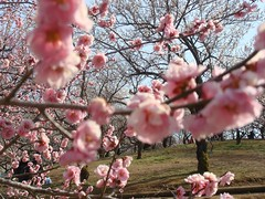 DSC07882.JPG (chinitanglatina) Tags: flowers nature japan spring ome ume yoshino plumblossoms umematsuri