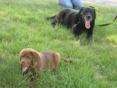 Bruno and Tjam (roslyn.russell) Tags: puppies labrador sasha retrievers bruno tjam