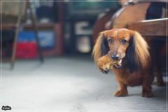 Nappy (kristian_cms) Tags: dogs dachshund napoleon minidachshund miniaturedachshund doxie longhairdachshund