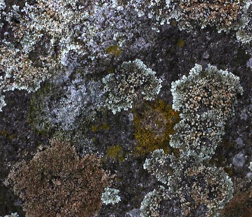 Lichens at Dunakanyar, 2009. 03. 21. 0016