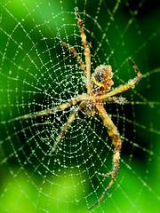 Behind the web (Pedro Cavalcante) Tags: naturaleza nature spider nikon web spin natureza natur natuur natura spinne araña 自然 蜘蛛 araignée toile ragno gewebe tela aranha edderkopp teia 網 природа паук クモ vev d80 ウェブ 性質 сеть nikond80 网 impressedbeauty rubyphotographer