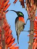 Greater Double-collared Sunbird (biancapreusker) Tags: africa game bird animal southafrica colours bright wildlife aves safari soe jewel sunbird canonpowershots2 greaterdoublecollaredsunbird cinnyrisafer platinumphoto colorphotoaward pfogold beautifulworldchallenges thechallengefactory thewonderfulworldofbirds