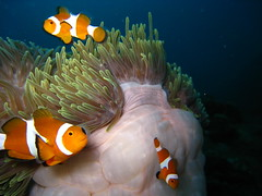 False Anemonefish