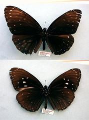 Euploea camaralzeman