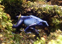 Blue poison frog (Abi Skipp) Tags: blue frog poison