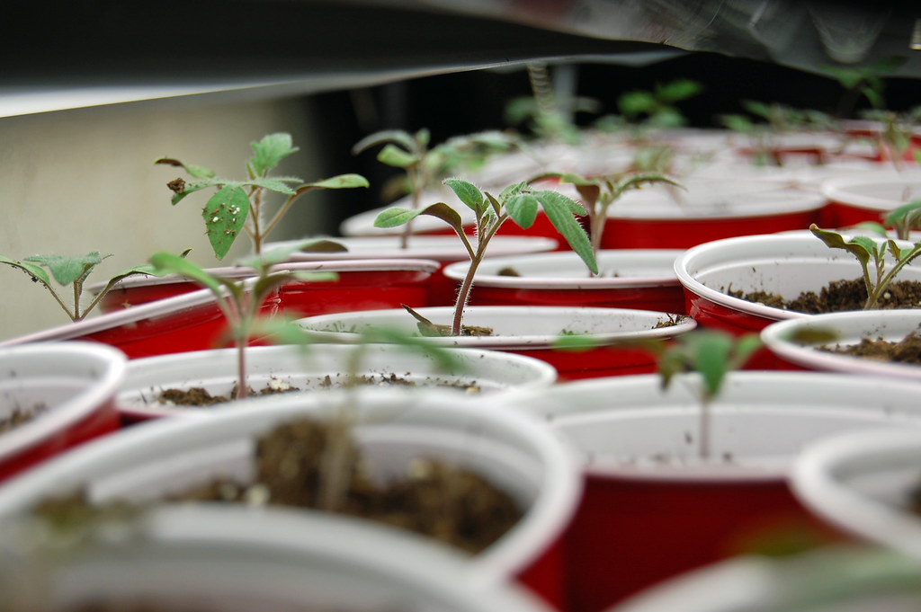 Tomato Seedlings 042209-01