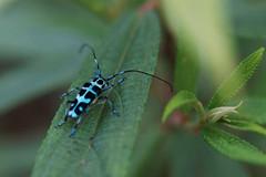 斯文豪氏天牛 (Paraglenea swinhoei Bates)