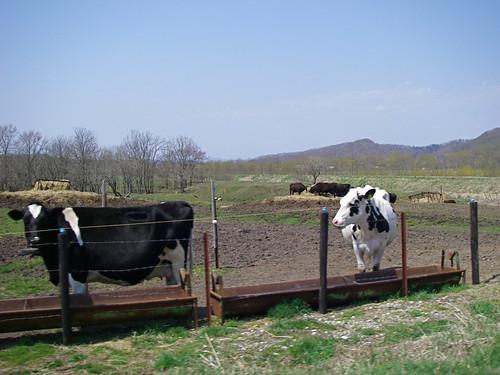 Hokkaido cows
