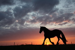 tropilla (The Family Dog) Tags: sunset horses horse nature animal silhouette canon cheval caballos evening fries cavalos ameland pferde equine paard paarden equines friese cheveaux tropillas tropilla tropsilla