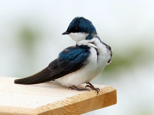 Tree Swallow 20090510