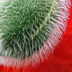 Poppy-stract (Steve-h) Tags: red white abstract green europa europe eu explore finepix poppy fujifilm bud hairs simplythebest thegoldengallery steveh aplusphoto flickrhearts flickraward globalvillage2 artlegacy threefaves 100faves123 shiningstar multimegashot photographersgonewild s00fs arttouch artfortheart freedomhawkgalleryofexcellence mygearandmepremium mygearandmebronze mygearandmesilver mygearandmegold mygearandmeplatinum