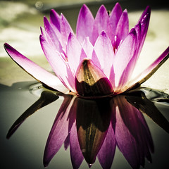 Water lily (ddsnet) Tags: plants plant flower water waterlily lily sony hsinchu taiwan 350 aquatic   aquaticplants         sinpu hsinpu  quotwater tetragona water lightroompresets   lilyquot 350 lily plantsquot  nymphaeatetragona waterlilyaquatic    plants flowerinjapan nymphaeatetragon quotaquatic quotnymphaea tetragonaquot aquatic nymphaea tetragona plantsnymphaea