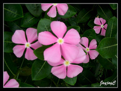 Pink Catharanthus roseus (Madagascar Periwinkle) with yellow eye, around our neighbourhood, May 2009