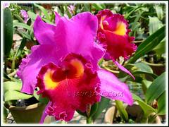 Blc. Brad Carter 'Bri Lea' (Brassolaeliocattleya hybrid) at Serendah International Orchid Park