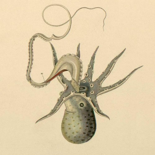 Mollusca f - cephalopod illustration