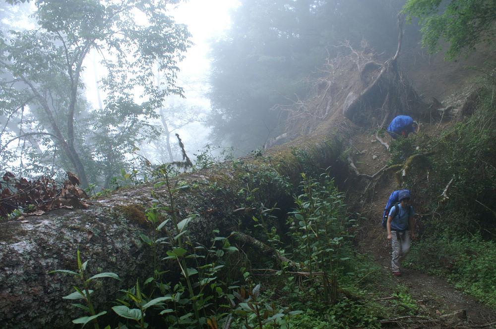 南湖大山day1-41 雲杉倒木