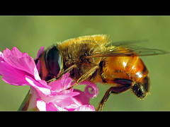 European Hoverfly - Macro (David Gn Photography) Tags: flower macro insect dronefly raynoxdcr250 eristalistenax europeanhoverfly beautifulmonsters canonpowershotsx1is honeybeemimic