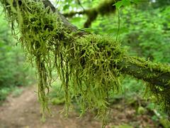 Hanging Moss (Pat's Pics36) Tags: green moss encore sonydscf707 potofgold hangingmoss thousandtrails mthoodvillage