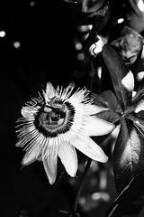 Passiflore. (VitamineS) Tags: flower fleurs passiflora passiflore