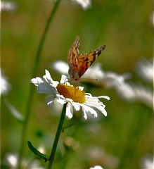 (eskimo_row) Tags: butterfly daisy paintedlady