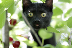 Luca still in the cherry tree (.sxf) Tags: tongue blackcat cherry luca cherries kitten cherrytree kirschbaum schwarzekatze blackkitten katzenbaby katzeimkirschbaum catinacherrytree